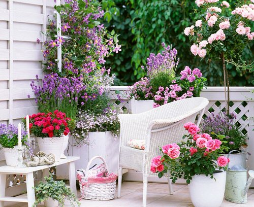 Pictures of Roses in Pots 15