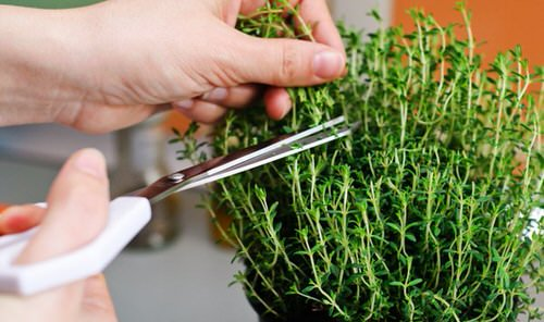 Root Herb Cuttings from Store 3