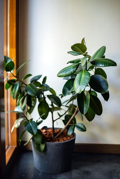 Types of Plants that are Called Money Plants 3