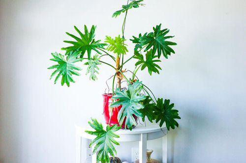 Exotic Philodendron Plants 3