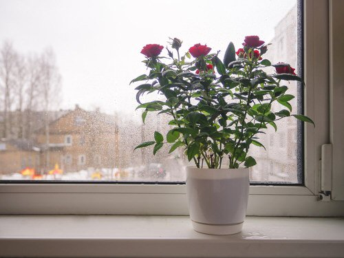 Pictures of Roses in Pots 3