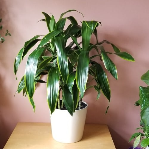 Best Dracaena Varieties for Indoors 8