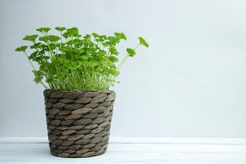 Container Vegetables that Magically Regrow Themselves 4