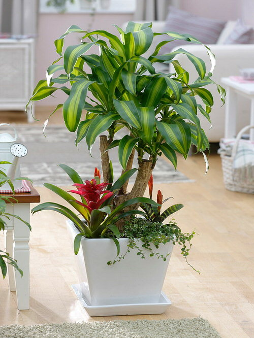 Best Dracaena Varieties for Indoors 9