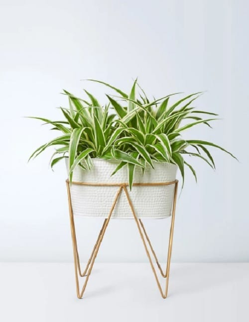 Houseplants that Look Best on Plant Stands 4
