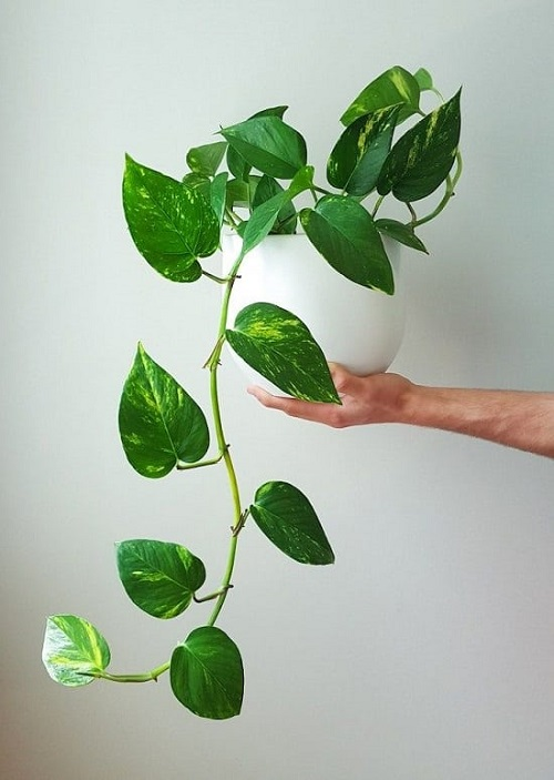 Types of Plants that are Called Money Plants