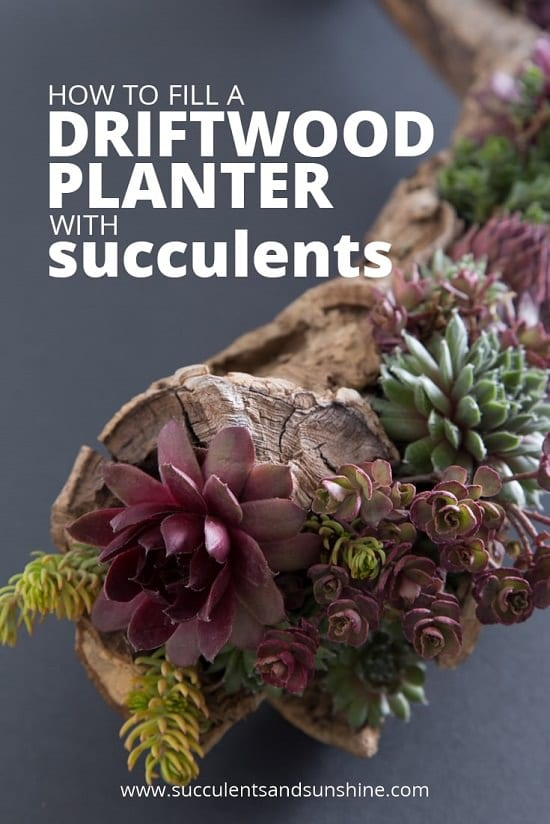 Driftwood Planter with Succulents