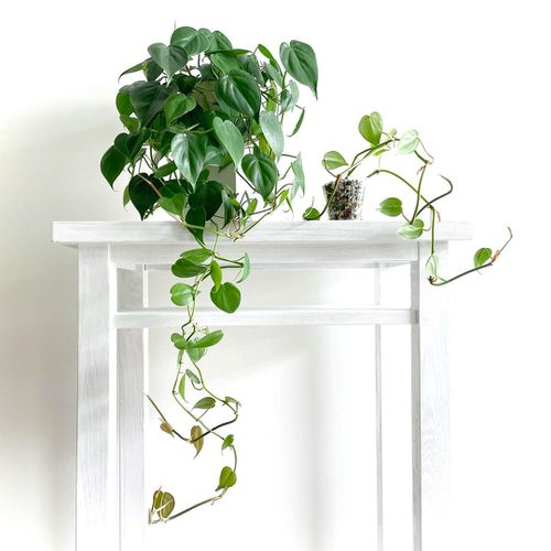 Pictures of Cascading Plants in Home 6