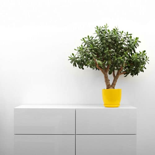 How to Get a Big and Bushy Jade Plant