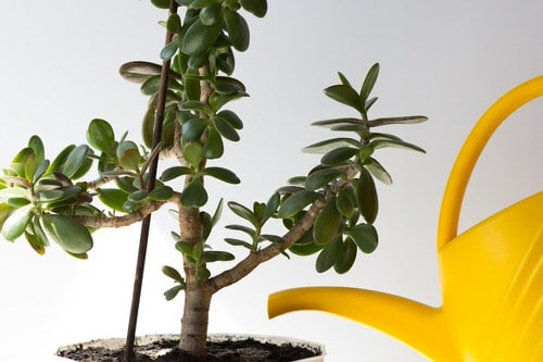 How to Get a Big and Bushy Jade Plant 2