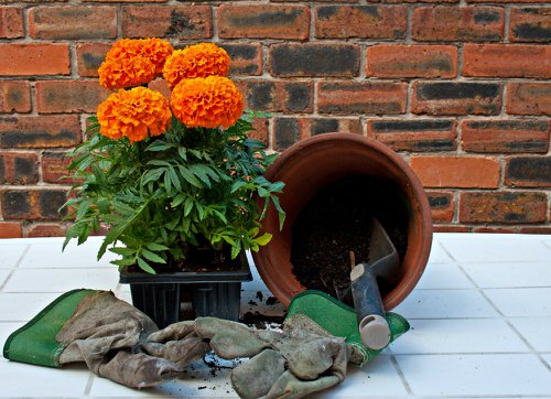 Reasons Why Marigold is Good for Your Garden