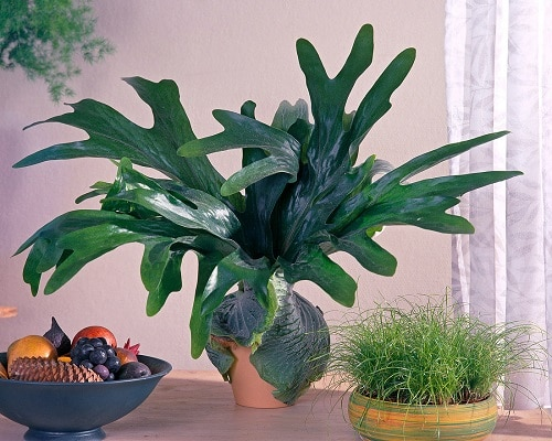 Best Epiphytic Ferns That Grow As Indoor Plants