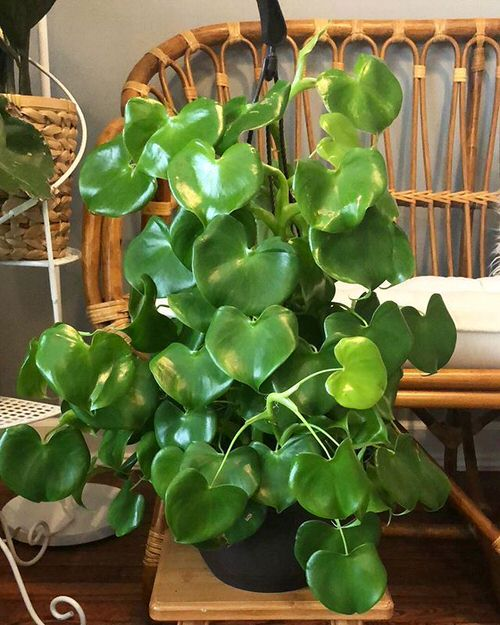 Philodendron Varieties You Can Grow From Cuttings 6