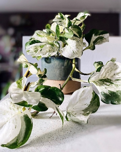 Indoor Plants with White Striped Leaves 6