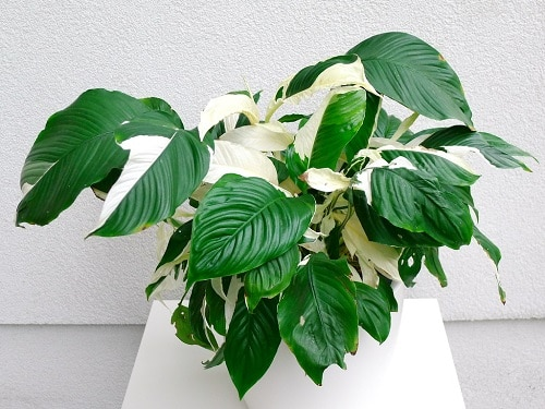 Indoor Plants with White Striped Leaves 9