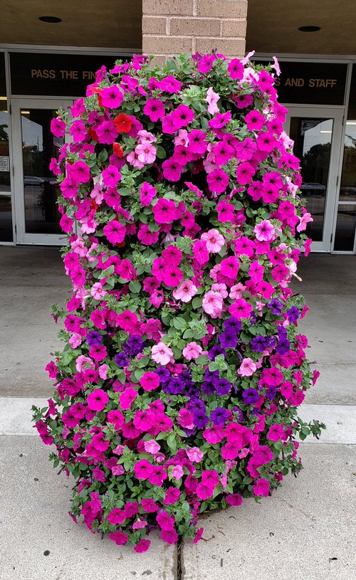 Amazing Things to Do with Petunias
