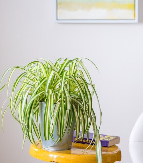 Indoor Plants with White Striped Leaves 2