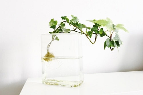 Growing Indoor Plants in Water 2
