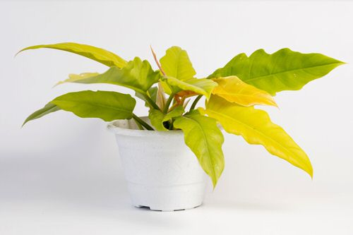 Philodendron Varieties You Can Grow From Cuttings 3