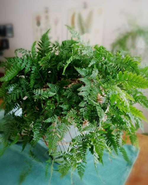 Best Epiphytic Ferns That Grow As Indoor Plants 3