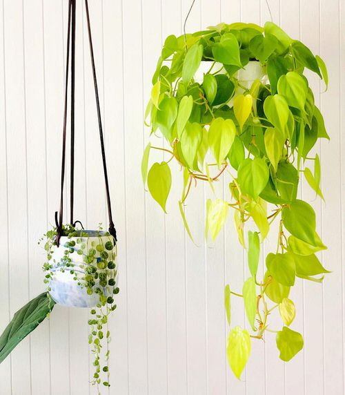 Philodendron Varieties You Can Grow From Cuttings 4
