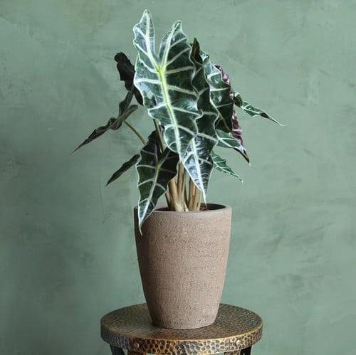 Indoor Plants with White Striped Leaves 3