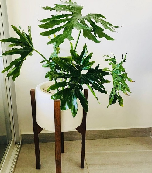 Philodendron Varieties You Can Grow From Cuttings 5