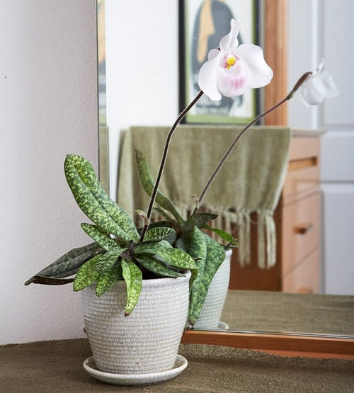 Orchids with Decorative Foliage 6