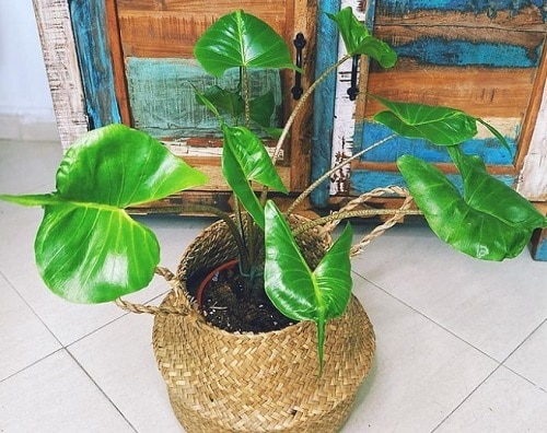 Alocasia Stingray Care Indoors 2