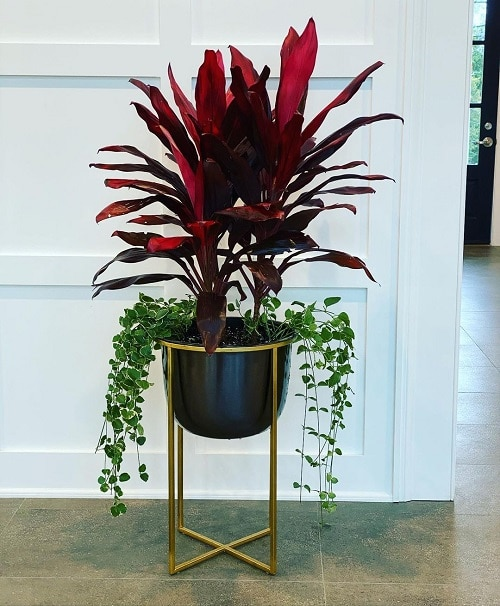 How to Grow Cordyline Plant Indoors