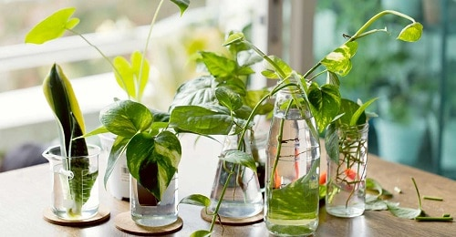 Growing Indoor Plants in Water