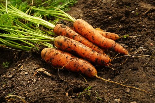What Do Carrot Sprouts Look Like
