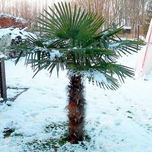 Most Cold Tolerant Palm Trees 9