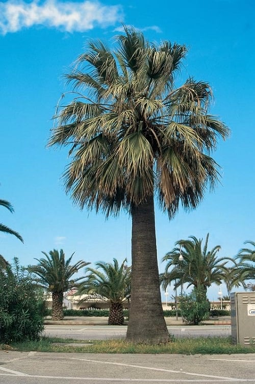 Most Cold Tolerant Palm Trees 15
