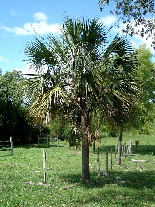 Most Cold Tolerant Palm Trees 20