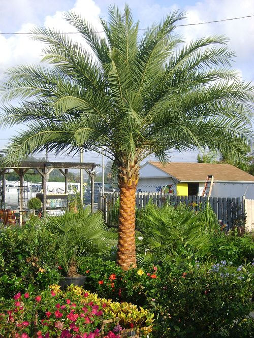 Most Cold Tolerant Palm Trees 25