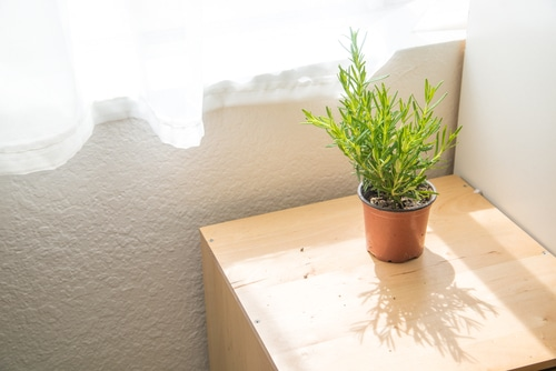Secrets To Grow Fuller and Bushier Rosemary 2