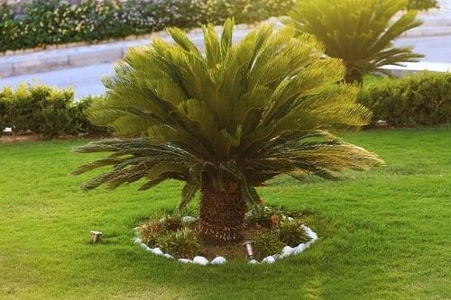 Most Cold Tolerant Palm Trees 74