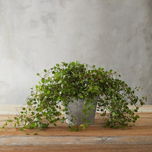Cool Indoor Vines People Usually Don't Grow 2