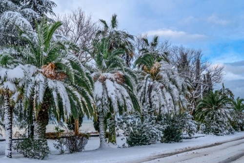 Most Cold Tolerant Palm Trees 2