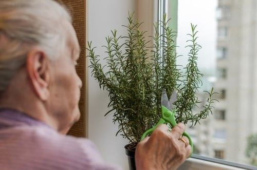 Secrets To Grow Fuller and Bushier Rosemary 3