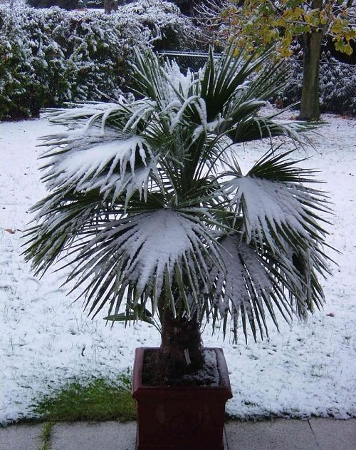 Most Cold Tolerant Palm Trees 3