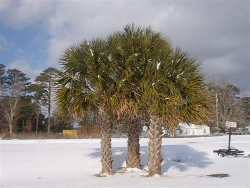 Most Cold Tolerant Palm Trees 4
