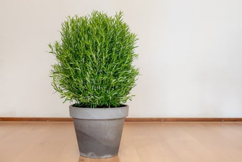 Secrets To Grow Fuller and Bushier Rosemary