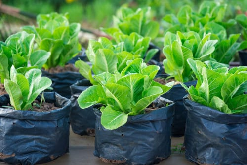 Types of Spinach to Grow in Pots