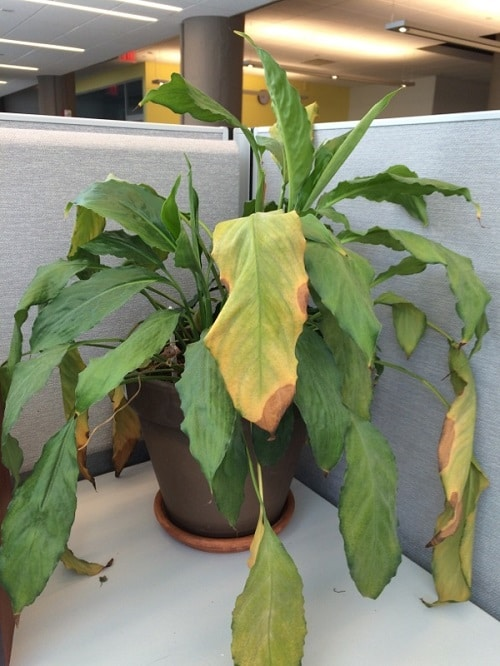 Common Peace Lily Problems