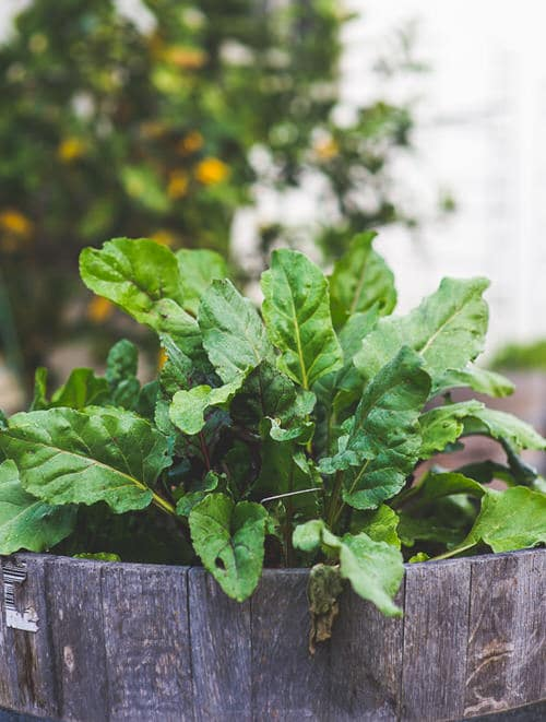 Seeds to Sow for Food in Less than a Month 8