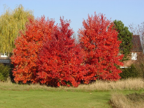 Trees With Red Leaves 10