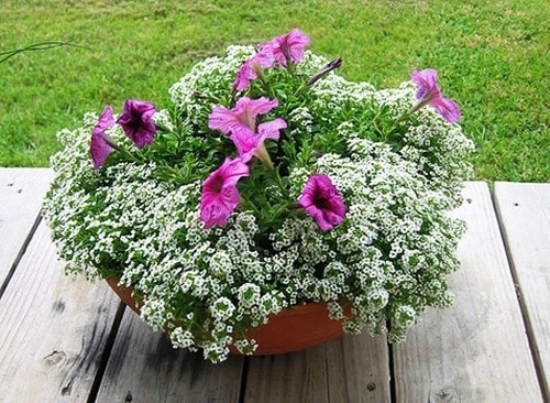 Best Shade-Loving Flowers for Containers 7