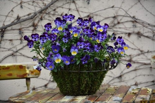 Best Shade-Loving Flowers for Containers 8
